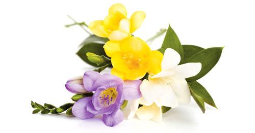 bouquet fresie