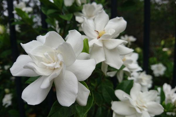 Fiori Profumatissimi Bianchi.Gardenia Pianta Molto Esigente Dai Profumati Fiori Bianchi