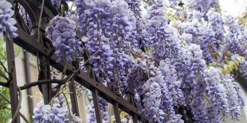 Catambra pianta antizanzare fai da te in giardino - Trapianto camelia ...