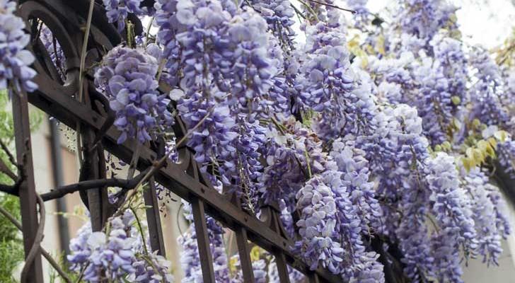 Glicine rampicante dai fiori a grappolo per pergolati e archi for Fiori bianchi profumati a grappolo