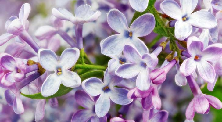 Lill folto arbusto dagli esuberanti fiorellini viola for Arbusto dai fiori rosa e bianchi