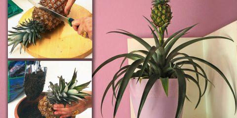 pianta ananas