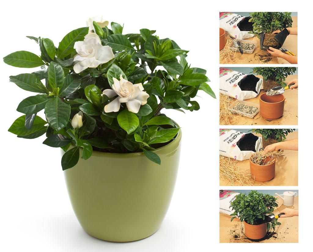 Gardenia pianta molto esigente dai profumati fiori bianchi - Gardenia pianta da giardino ...