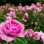Rosa, la regina dei fiori | Caratteristiche e coltivazione