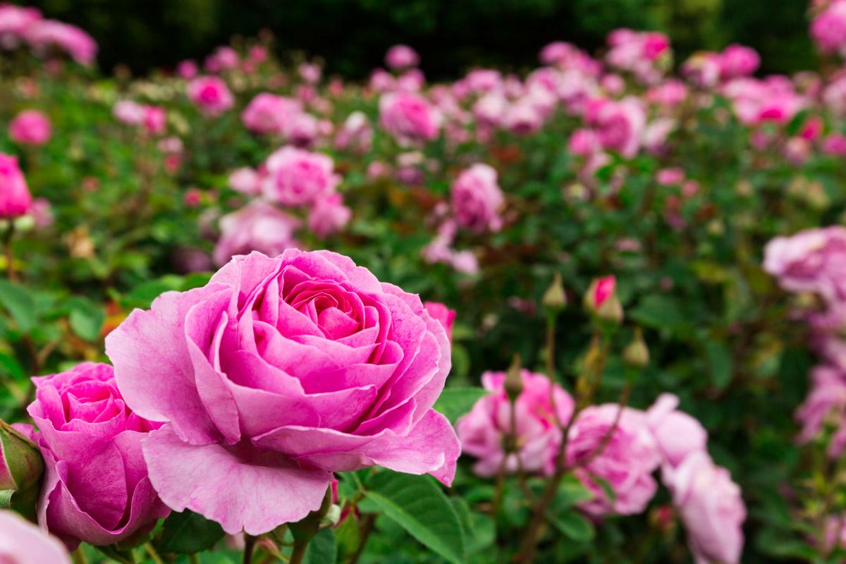 Tutori Per Rose Rampicanti rosa, la regina dei fiori | caratteristiche e coltivazione -