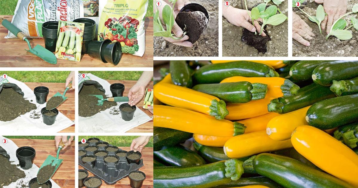 Zucchine trapianto e coltivazione fai da te in giardino for I fiori della balsamina
