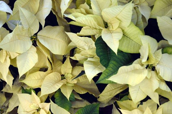 Poinsettia o Stella di Natale