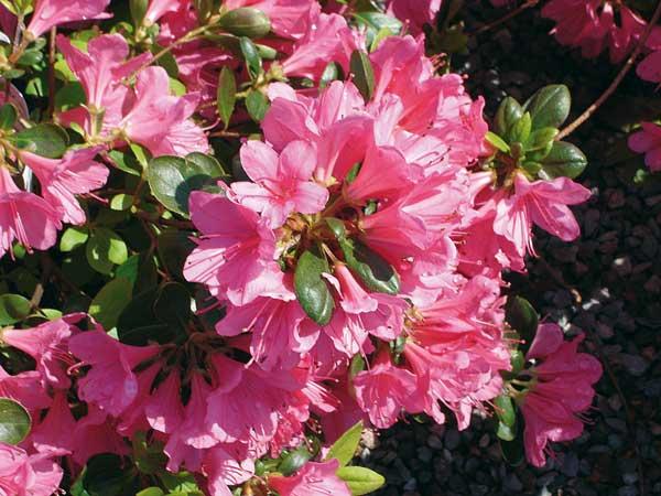 azalea balconate fiorite
