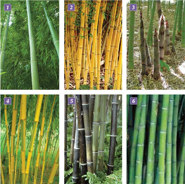 bambù, bamboo, pianta di bambu, bambu, pianta di