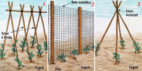 Coltivazione fagioli orticoltura for Bamboo coltivazione