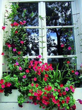 piante rampicant