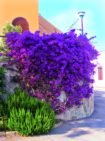Come coltivare le piante rampicanti fai da te in giardino for Bouganville fioritura
