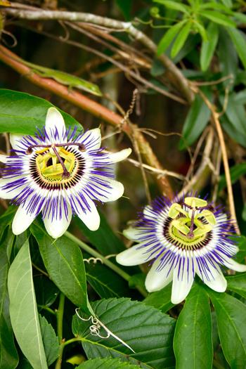 Come coltivare le piante rampicanti fai da te in giardino for Piante da frutto rampicanti