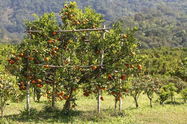 Guida completa agli alberi da frutto e agli agrumi