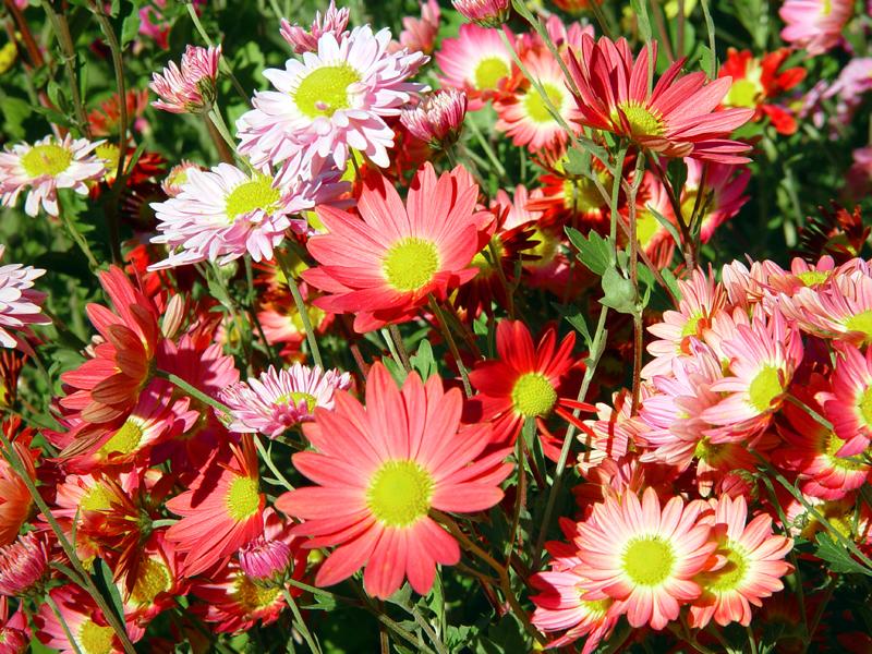 Fiori astri 28 images astri aster settembrini - Settembrini fiori ...