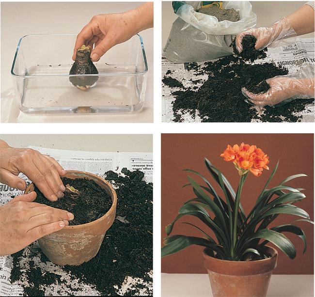 come coltivare la clivia