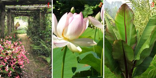 Foto di vialetto con rose rampicanti, Begonia rex e Musa
