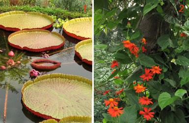 Foto di Victoria amazzonica e senecio