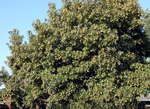 albero-corbezzolo