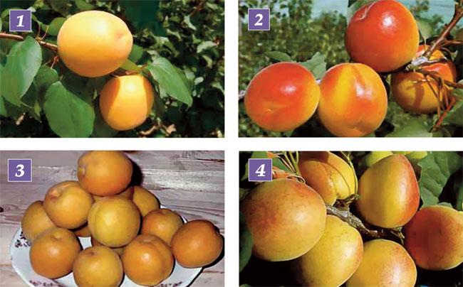 varietà albicocche