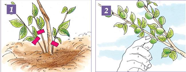 coltivare albicocche