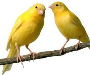 allevare-canarini-2