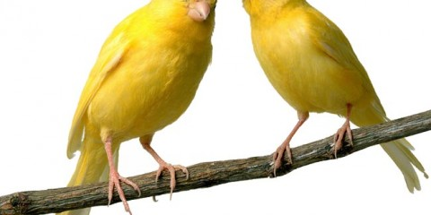 allevare canarini