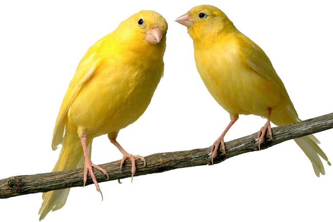 Allevare canarini | La guida dettagliata per amatori e professionisti