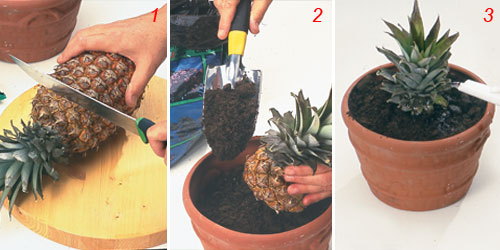 foto di trapianto ananas