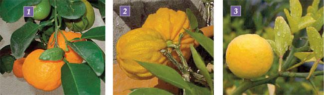 arancio 2, alberi da frutto