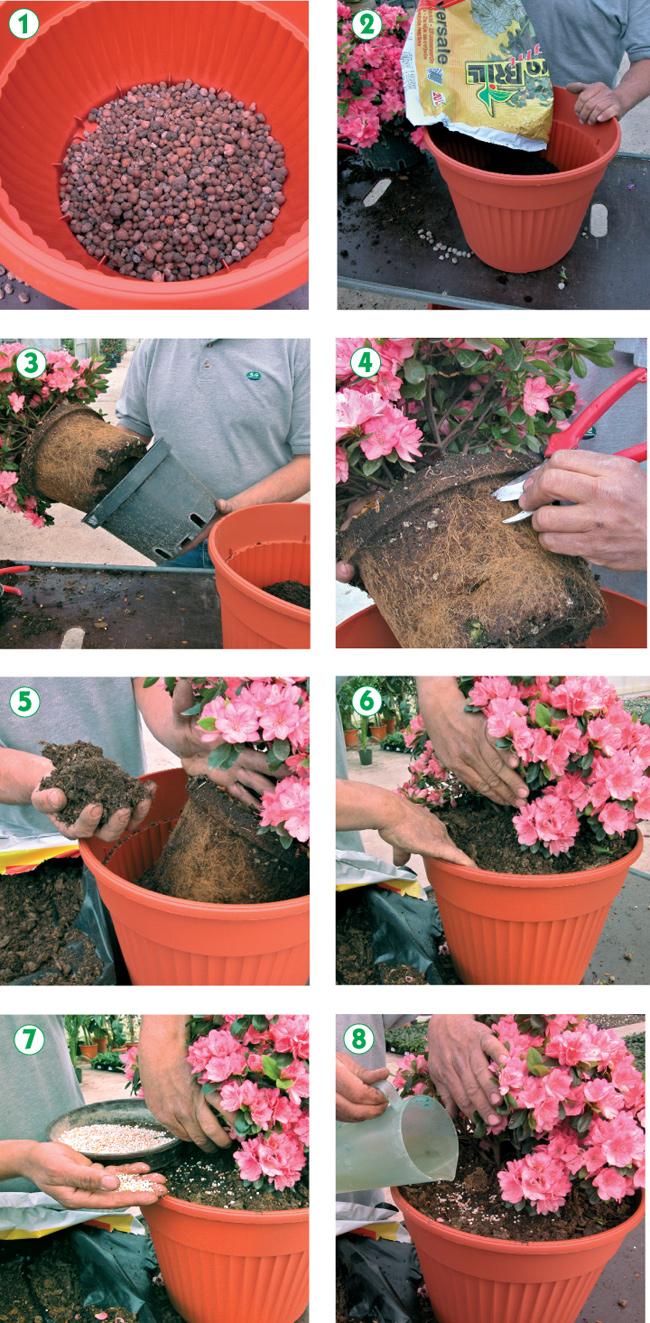 azalee, azalea, coltivare le azalee, coltivazione azalea, azalea cura, azalea japonica, azalea pianta, rododendro,
