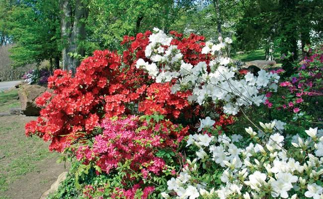 Azalee cure e coltivazione fai da te in giardino - Azalee da esterno ...