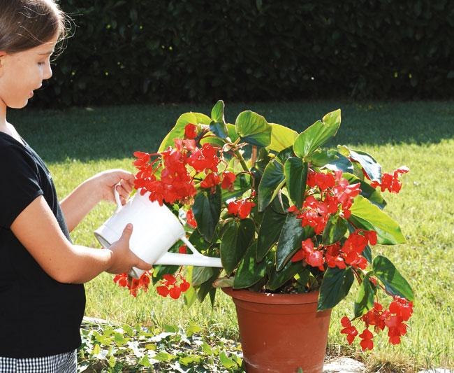 Begonia cura e coltivazione