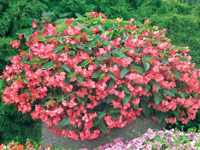 Begonia cura e coltivazione fai da te in giardino for Begonia pianta