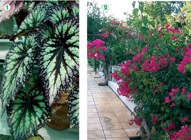 begonia, begonie, begonia rex, begonia pendula, begonia gigante, begonia cura, begonia semperflorens, begonia elatior, begonia coltivazione, talea di begonia