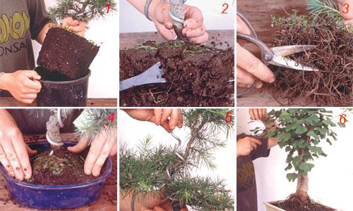 foto di coltivazione di un bonsai