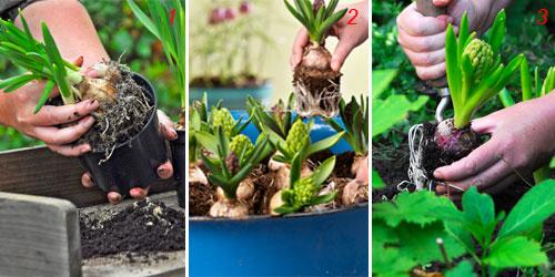 foto di piantare i bulbi