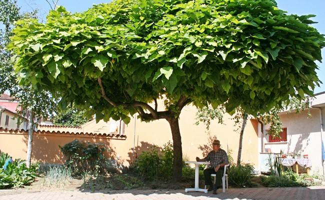 Catambra pianta antizanzare fai da te in giardino