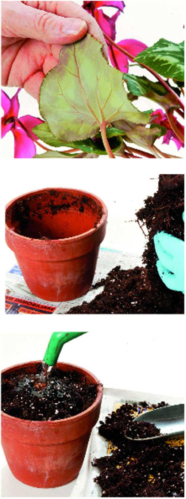 come coltivare ciclamini