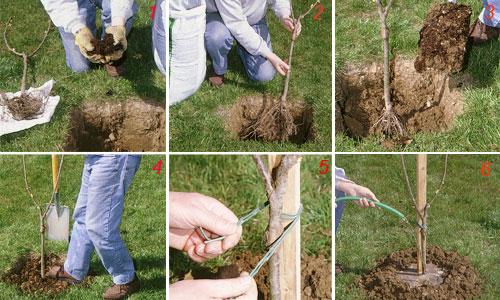 foto di piantare il ciliegio