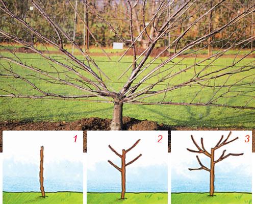 piantare il ciliegio