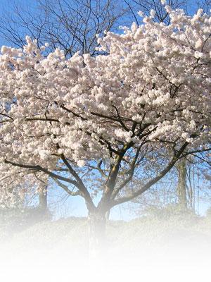 Come piantare il ciliegio passo passo fai da te in giardino for Pianta di ciliegio