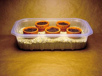 coltivare il peperoncino germinazione 1