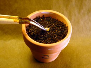 coltivare il peperoncino germinazione