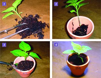 coltivare il peperoncino vasetti