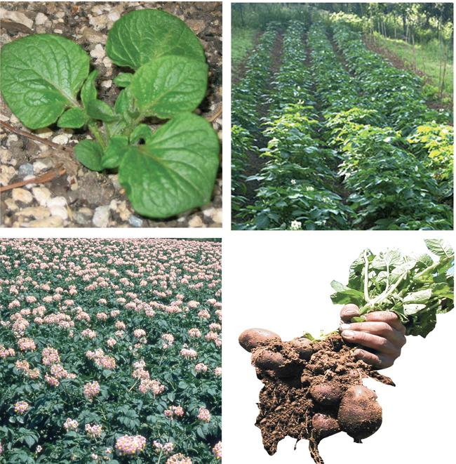 Coltivare Patate U2013 Il Raccolto