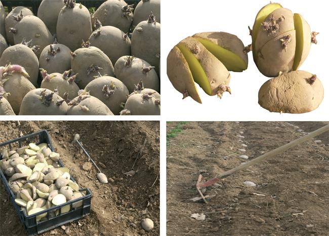 coltivare patate fai da te in giardino