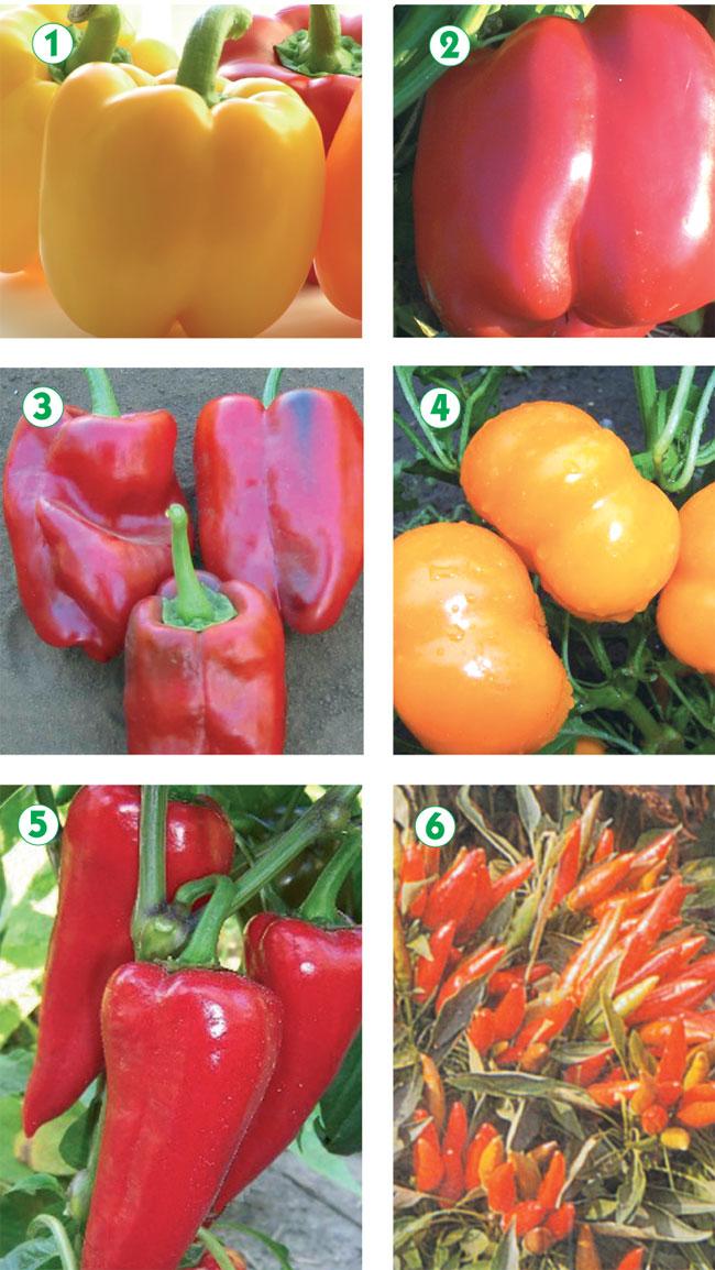 coltivare peperoni, coltivazione peperoni, peperoni coltivazione, come coltivare i peperoni
