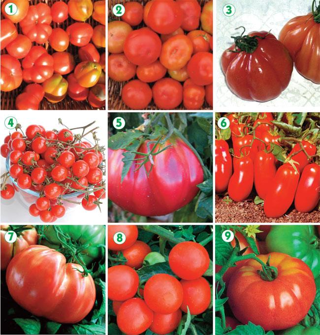 Coltivare pomodori fai da te in giardino for Concime per pomodori