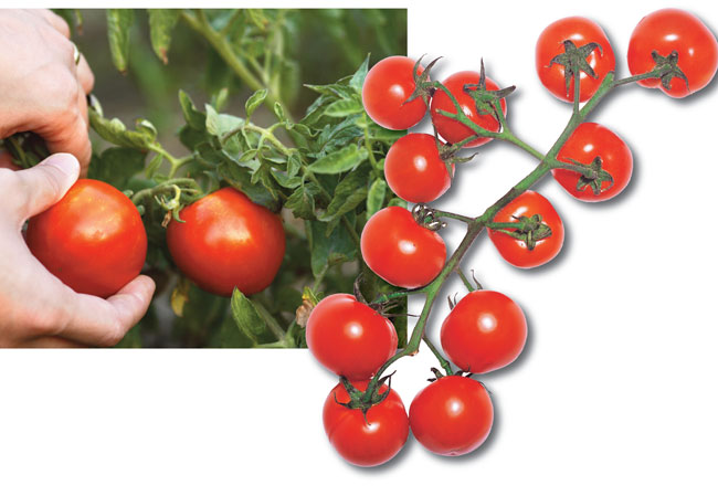 coltivare pomodori, coltivazione pomodori, come coltivare i pomodori, coltivare pomodori in vaso, pomodoro coltivazione